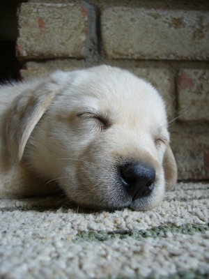yellow lab puppy sleeping - photo #9